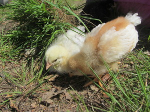 Basic Chick Care