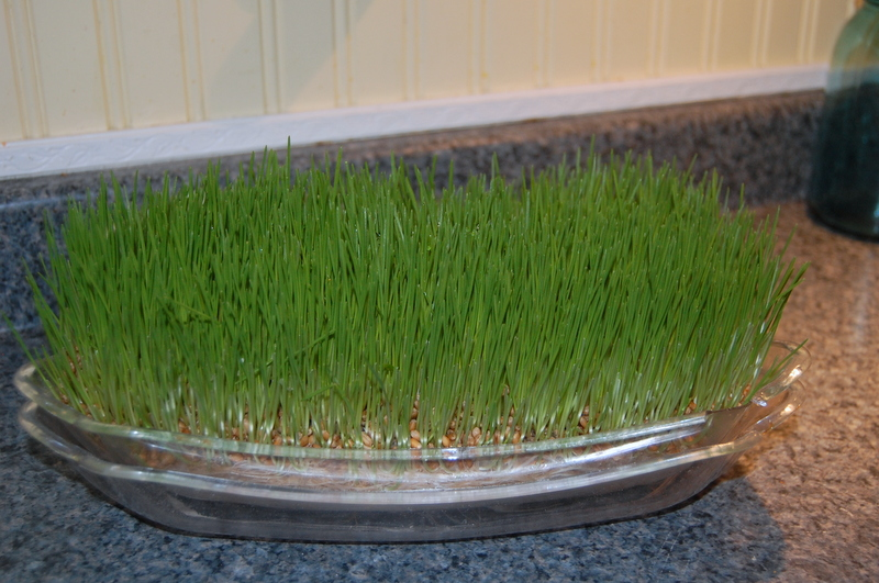 growing wheat grass for chickens