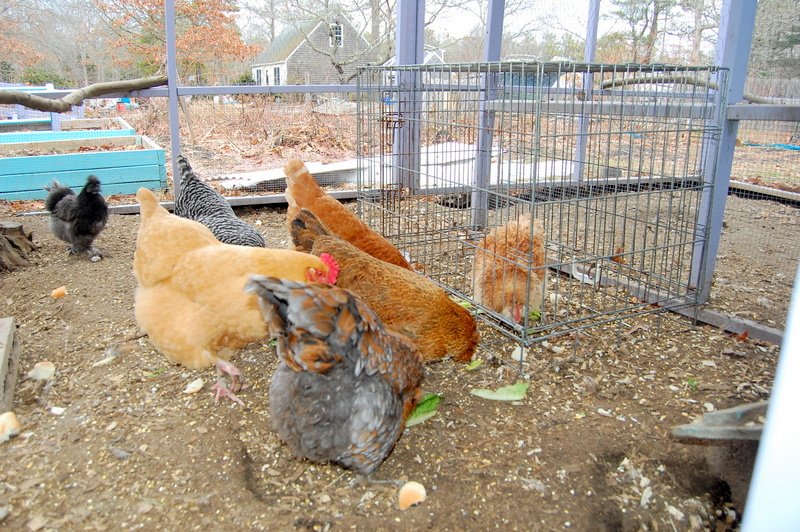 Adding a single new chicken to your flock
