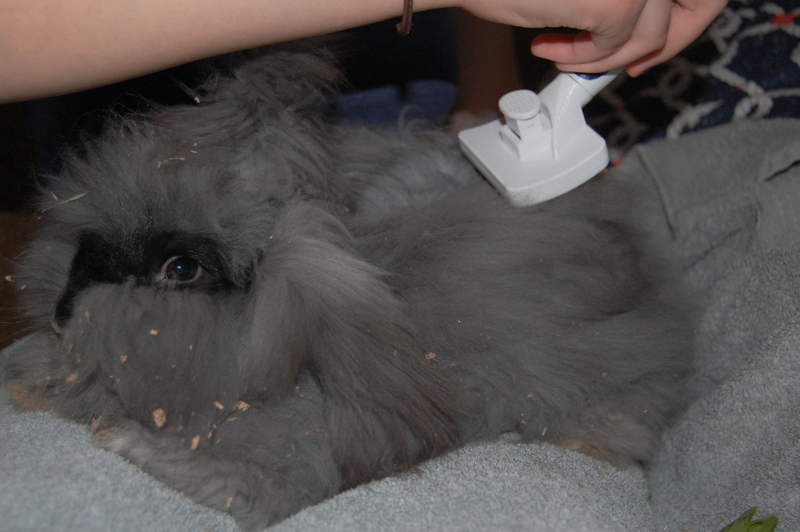 How to Groom Angora Rabbits