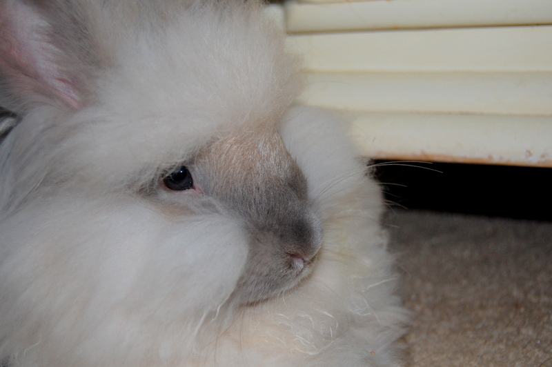 Angora Rabbits Care