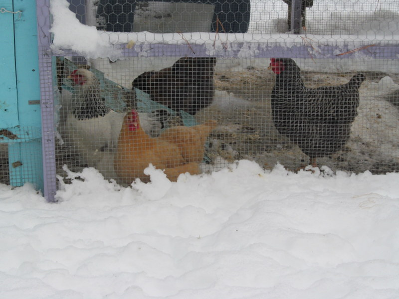 Frostbite can be a serious problem for cold climate chicken keepers. Learn how to treat it and to prevent it in the future