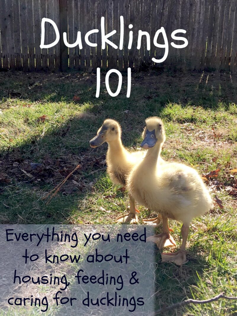 Ducklings 101 - The Cape Coop