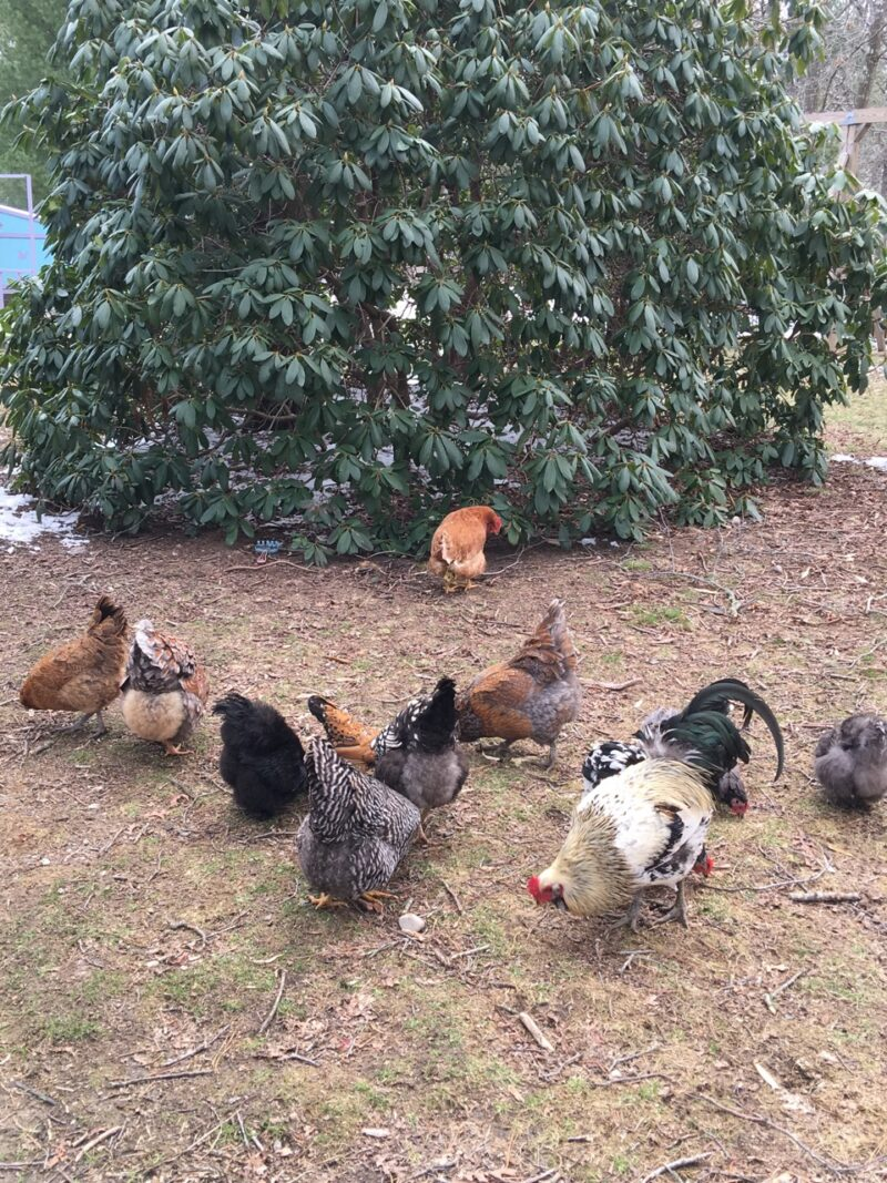 One of these chickens is not like the others, time to investigate