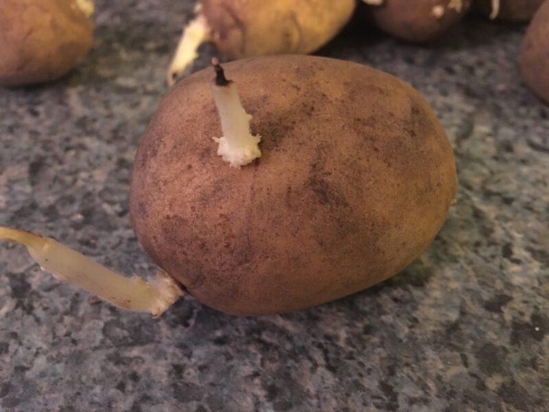 Potatoes in the Backyard Garden