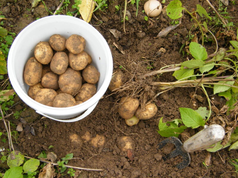 Potato for Backyard Gardens