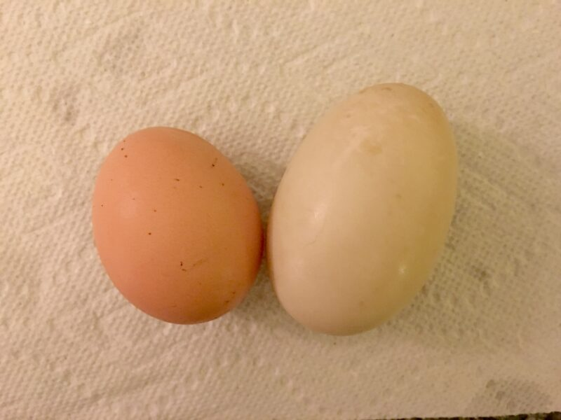 Duck eggs are HUGE! Chicken egg on left, duck egg on the right